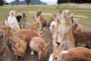 大久野島に生息する野生のウサギ