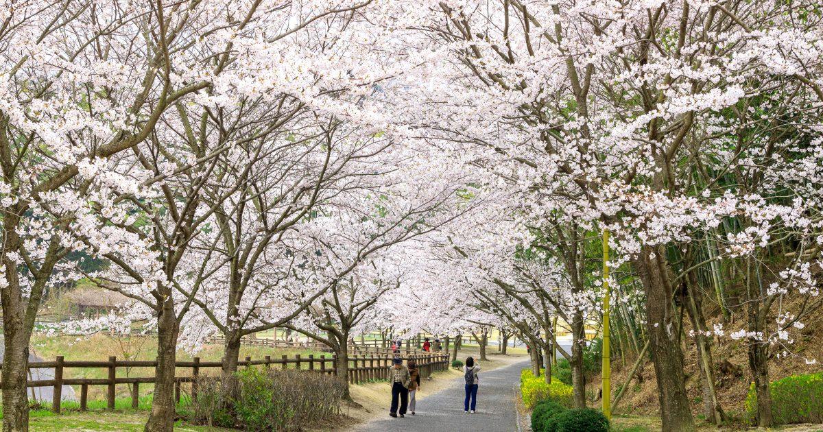 広島県竹原市にある千本桜が見られる公園