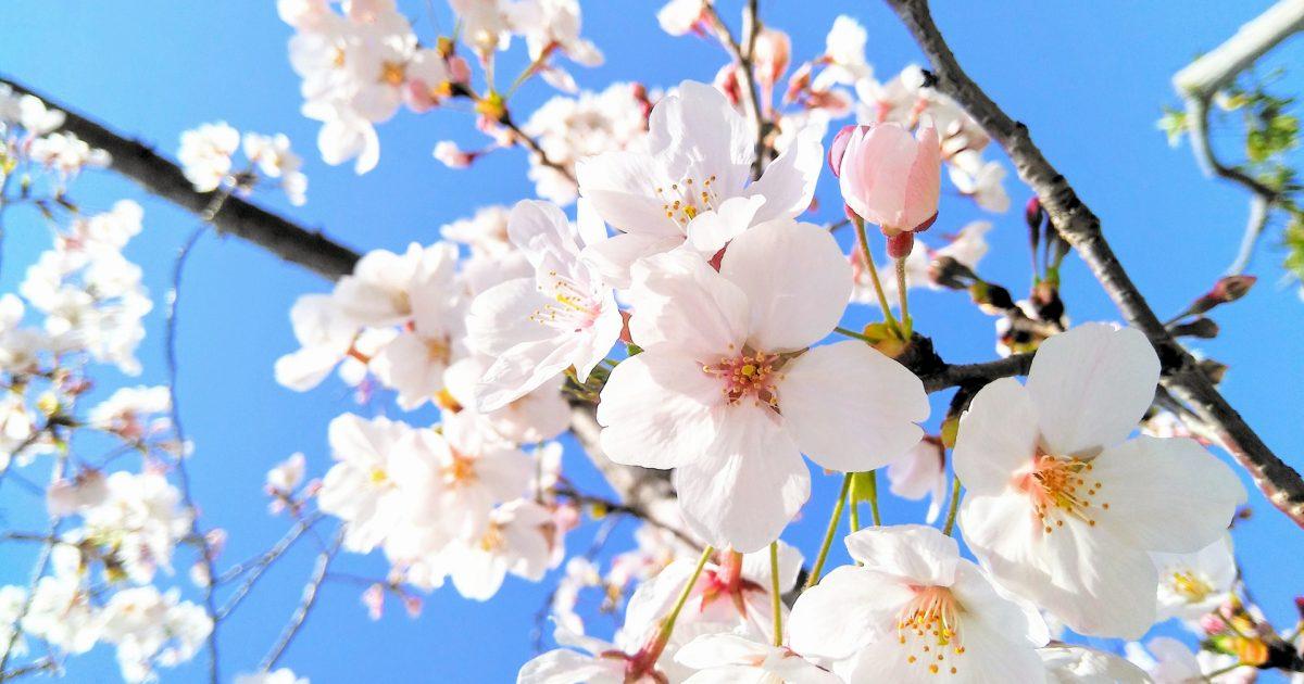 春お花見シーズン見ごろの桜